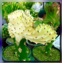 Prettily grafted cactus