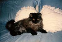 Shadow, my little puff ball Persian.