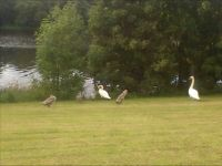 Family of Mute Swans on the River Tyne.