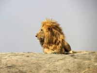lion giving up on napping