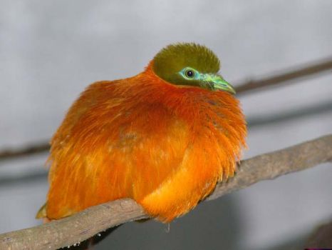 Orange Fruit Dove - Fiji