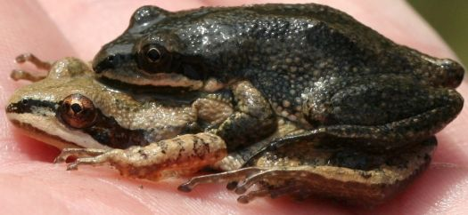 Wood Frogs male and female