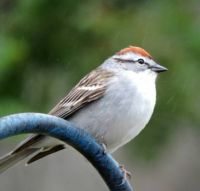 New Arrivals: Chipping Sparrow