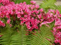 Pink azalea with young fern leaves