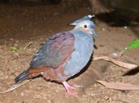 Mountain Witch Dove