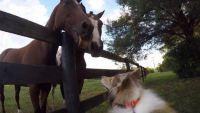 Lassie horses around