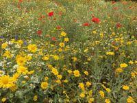 Cornish flower meadow