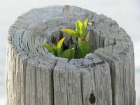 A Tree Grows in Oregon