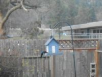 Acorn Woodpecker at Feeder