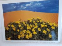 Long leafed sunflowers among the dunes, Pink Coral Sand Dunes State Park, Utah