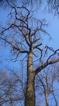 Chêne, forêt de Merxheim, Elsass