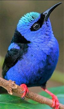 The Red-legged Honeycreeper