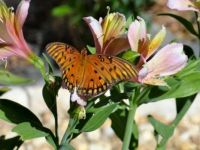 Gulf Fritillary enjoying the day!