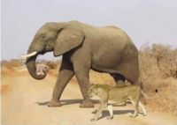 Lioness Being Helped By Elephant