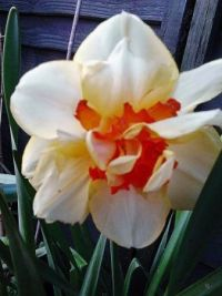 A Daffodil from a few years back - April - in Devon
