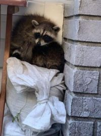 My daughter has raccoons in her soffit.  Story below.