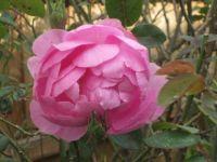 Rose for grandchild number 6