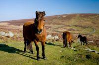 Wild-roaming-Dartmoor-Ponies-Grimspound-Dartmoor-National-Park-Devon-England.jpg