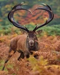 Magnificent red elk in the wild