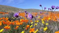 Antelope Valley Flowers