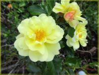 Rose, Růže