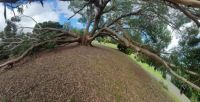 Old Pohutakawa tree split in the middle