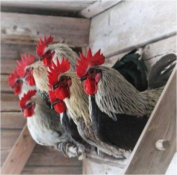 Pretty chickens