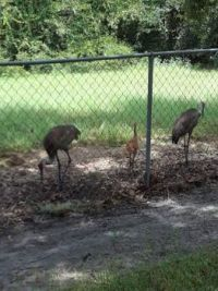 Sandhill Cranes in my back pasture with the one baby left.