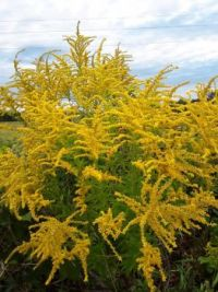 Big clump of goldenrod