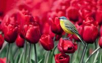 Bird on Tulips