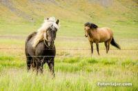 horses fiordes-ocidentais-islandia