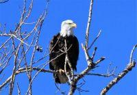 Bald Eagle, Webster Lake, Kansas.
