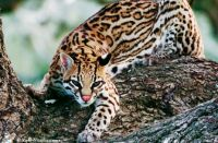 Beautiful Ocelot
