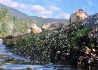 Harbour seals near Horeshoe Bay British Columbia Canada