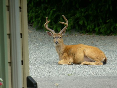 Black-tailed deer in the driveway