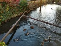 Ducks in the mill pond in Salem Oregon