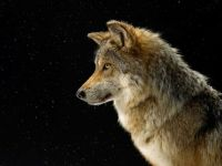 mexican-gray-wolf-sartore_3726_990x742