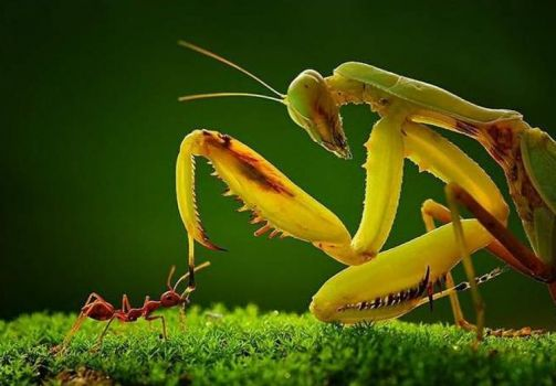 Preying Mantis and the Ant ...