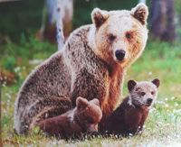Wild Mother Bear & he Two Bear cubs                                                 humanesociety.org