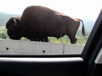 Bison, Alaska Hwy - British Columbia