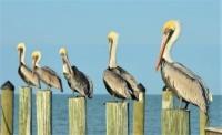 pelicans Theme birds