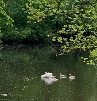 The swans, a year later, this time in the river