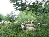Sheep on a dike.