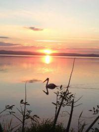Pelican on Tuggerah Lake