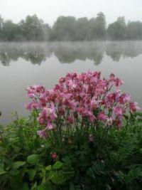 Akeleien in de mist bij Yvoir