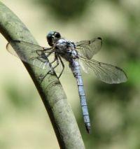 Blue Dragonfly broken