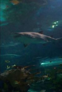 Nurse Shark in Ripley's Aquarium of the Smokies