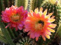 Desert Bloom With Bonus Bee