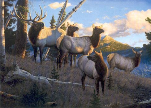 Bull Elk and Companions