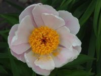 Old Fasioned Peony